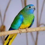 Травяной попугай - содержание