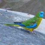 Травяной попугай - уход