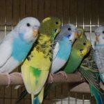 Волнистый попугай - описание вида
