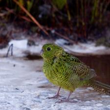 Земляной попугай - исчезающий вид