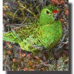 Земляной попугай - охраняется законом
