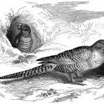 Земляной попугай - описание вида