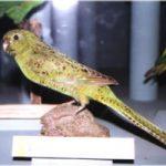 Земляной попугай - особенности вида