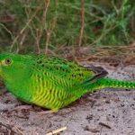 Земляной попугай - редкий вид