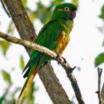 Андские попугаи - описание вида