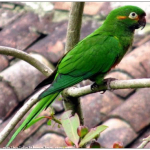 Андские попугаи - особенности вида