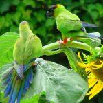 Черноголовый попугай - содержание