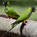Черноголовый попугай - уход