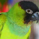 Черноголовый попугай - веселый вид