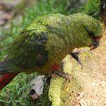 Изумрудный попугай - дружелюбный вид