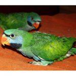Китайский кольчатый попугай - особенности вида