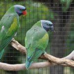 Китайский кольчатый попугай - содержание