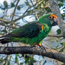 Конголезский попугай - добрый вид