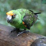 Конголезский попугай - особенности вида