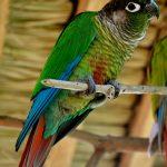 Краснохвостый попугай - миролюбивый вид