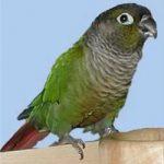 Краснохвостый попугай - содержание