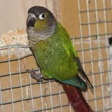 Краснохвостый попугай - дружелюбный вид