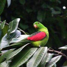 Краснокрылый попугай - особенности вида