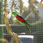 Краснокрылый попугай - содержание