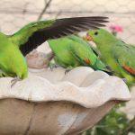 Краснокрылый попугай - умный вид
