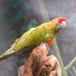 Красноухий ара - редкий вид