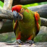 Красноухий ара - верный вид