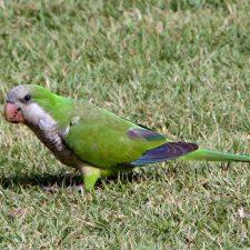 Монаший попугай - любознательный вид