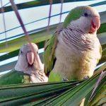 Монаший попугай - общительный вид