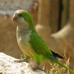 Монаший попугай - описание вида