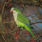 Монаший попугай - особенности вида