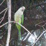 Монаший попугай - содержание