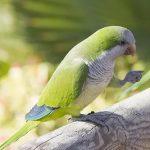 Монаший попугай - верный вид