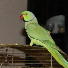 Ожереловый попугай - общительный вид