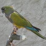 Патагонский попугай - дружелюбный вид