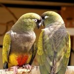 Патагонский попугай - описание вида