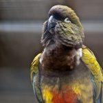 Патагонский попугай - уход