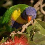 Радужный лорикет - активный вид