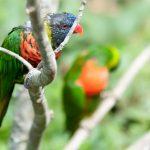 Радужный лорикет - описание вида