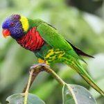 Радужный лорикет - яркий вид