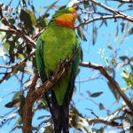 Роскошный баррабандов попугай - дружелюбный вид