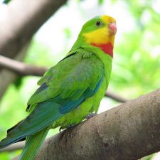 Роскошный баррабандов попугай - красивый вид