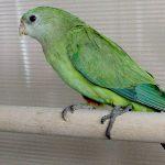 Роскошный баррабандов попугай - миролюбивый вид
