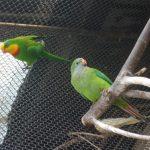 Роскошный баррабандов попугай - описание вида