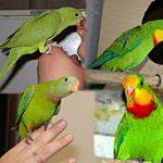 Роскошный баррабандов попугай - яркий вид