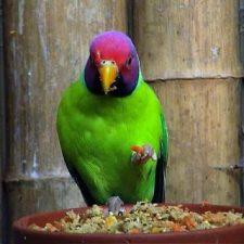 Сливоголовый попугай - особенности вида