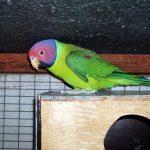 Сливоголовый попугай - умный вид