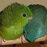 Толстоклювый попугай - любит внимание