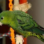 Толстоклювый попугай - не любит летать