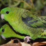 Толстоклювый попугай - уход