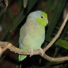 Воробьиный попугайчик - общительный вид